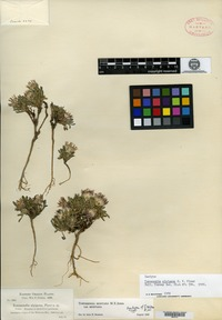 Isotype of Townsendia alpigena Piper [family ASTERACEAE]