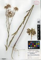 Holotype of Thelypodium rollinsii Al-Shehbaz [family BRASSICACEAE]