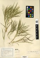 Isotype of Panicum bushii Nash [family POACEAE]