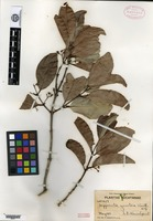 Type of Hippocratea yucatanensis Standley [family HIPPOCRATEACEAE]