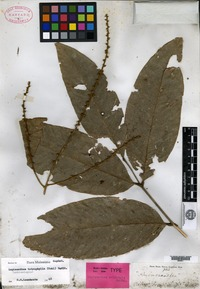 Isotype of Lepisanthes eriolepis Radlkofer [family SAPINDACEAE]