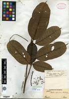 Isotype of Mabea speciosa Müll. Arg. [family EUPHORBIACEAE]