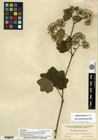 Isotype of Jungia guatemalensis Standley & Standley [family ASTERACEAE]