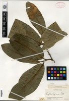 Isotype of Lecythis tuyrana Pittier [family LECYTHIDACEAE]