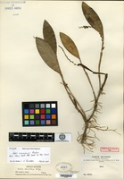 Isotype of Stelis scandens Rolfe [family ORCHIDACEAE]