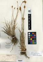 Isotype of Carex constanceana Stacey [family CYPERACEAE]