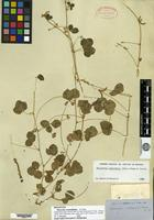 Holotype of Phaseolus rotundifolius A. Gray [family FABACEAE]