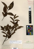 Syntype of Forsteronia myriantha Donnell Smith [family APOCYNACEAE]