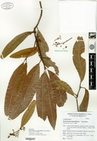 Isotype of Beilschmiedia angustielliptica Lorea-Hernández [family LAURACEAE]
