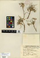 Holotype of Astragalus hypsogenus I. M. Johnston [family FABACEAE]