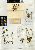 Holotype of Haplopappus brandegei A. Gray [family ASTERACEAE]