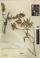 Holotype of Ophryosporus angustifolius B. L. Rob. [family ASTERACEAE]