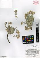 Holotype of Physaria saximontana Rollins var. dentata Rollins [family BRASSICACEAE]