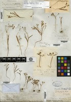Syntype of Claytonia triphylla S. Watson [family PORTULACACEAE]