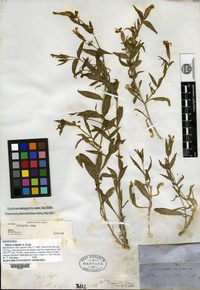 Syntype of Silene wrightii A. Gray [family CARYOPHYLLACEAE]