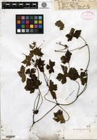 Type of Geranium wallichianum D. Don [family GERANIACEAE]