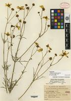 Isotype of Bidens insolita Sherff [family ASTERACEAE]