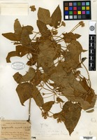 Holotype of Jacquemontia saxicola L. B. Smith [family CONVOLVULACEAE]