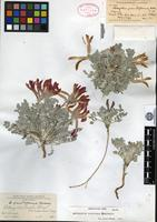 Holotype of Astragalus grandiflorus S. Watson [family FABACEAE]