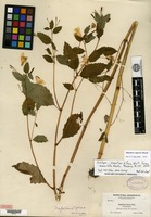 Holotype of Impatiens biflora Walter f. immaculata Weatherby [family BALSAMINACEAE]