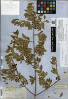 Isolectotype of Forestiera acuminata (Michaux) Poiret var. parviflora A. Gray [family OLEACEAE]