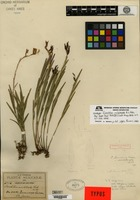 Holotype of Isochilus unilaterale B. L. Robinson [family ORCHIDACEAE]