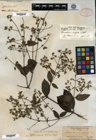 Isotype of Sphenodesme triflora Wight [family VERBENACEAE]