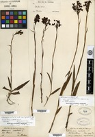 Filed as Habenaria acuifera Wallich ex Lindley [family ORCHIDACEAE]