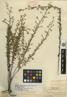 Holotype of Ageratella microphylla (Sch. Bip.) A. Gray var. palmeri A. Gray [family ASTERACEAE]