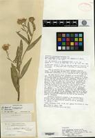 Isosyntype of Aster adscendens Lindley var. parryi D. C. Eaton [family ASTERACEAE]