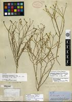 Lectotype of Gutierrezia eriocarpa A. Gray [family ASTERACEAE]
