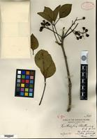 Isotype of Zanthoxylum bluettianum Rock [family RUTACEAE]