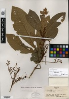 Isotype of Aglaia vitiensis A. C. Smith [family MELIACEAE]