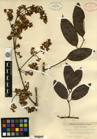 Isotype of Banisteria cinerea Rusby [family MALPIGHIACEAE]