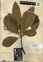 Isotype of Persea cinerascens S. F. Blake [family LAURACEAE]