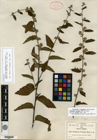 Isotype of Waltheria pringlei Rose & Standley [family BYTTNERIACEAE]