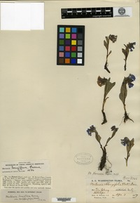 Type of Mertensia horneri Piper [family BORAGINACEAE]