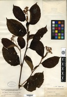 Isotype of Begonia cooperi C. de Candolle [family BEGONIACEAE]