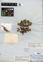 Isotype of Douglasia nivalis Lindley [family PRIMULACEAE]