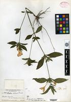 Holotype of Ruellia caroliniensis (Walter) Steudel var. semicalva Fernald [family ACANTHACEAE]
