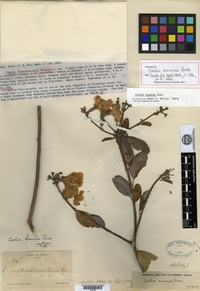 Isotype of Cordia sonorae Rose [family BORAGINACEAE]