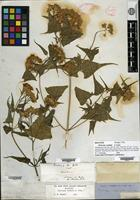 Holotype of Pericome caudata A. Gray [family ASTERACEAE]