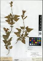 Holotype of Salvia schaffneri Fernald [family LAMIACEAE]