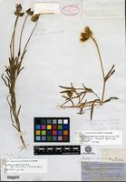 Holotype of Burrielia chrysostoma Torrey & A. Gray var. macrantha A. Gray [family ASTERACEAE]