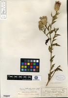 Isotype of Cnicus rothrockii A. Gray [family ASTERACEAE]