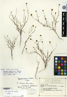 Isotype of Dyssodia gentryi M. C. Johnst. [family ASTERACEAE]