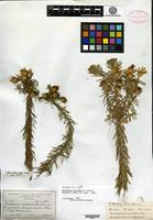 Isotype of Macowania revoluta Oliver [family ASTERACEAE]