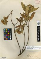 Holotype of Stevia nelsonii B. L. Rob. [family ASTERACEAE]