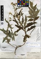Syntype of Verbesina coahuilensis A. Gray [family ASTERACEAE]