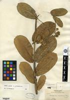 Holotype of Asclepias macroura A. Gray [family ASCLEPIADACEAE]